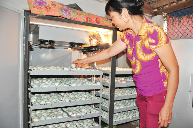 Vợ chồng ông Miền đầu tư lò ấp trứng vịt trời để phát triển chăn nuôi và cung cấp con giống cho bà con cùng làm giàu.