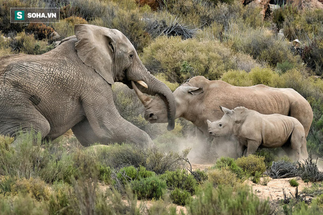 Voi tấn công tê giác. Ảnh: Rhino Africa Blog