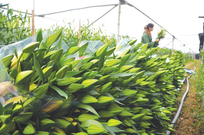2ha là diện tích trồng hoa ly của anh Hải.
