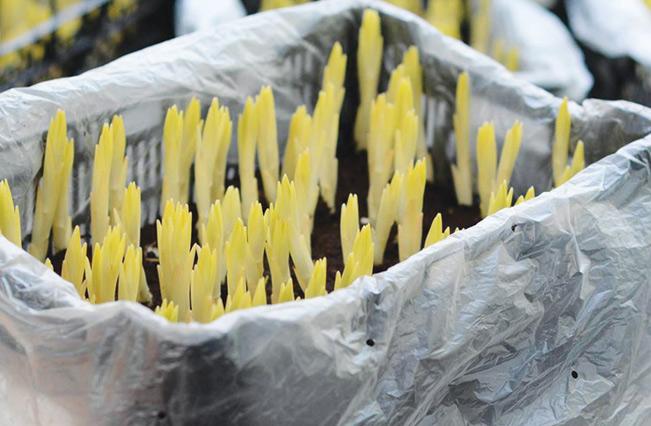Các củ giống được ươm trong thùng trước khi đưa ra vườn trồng.