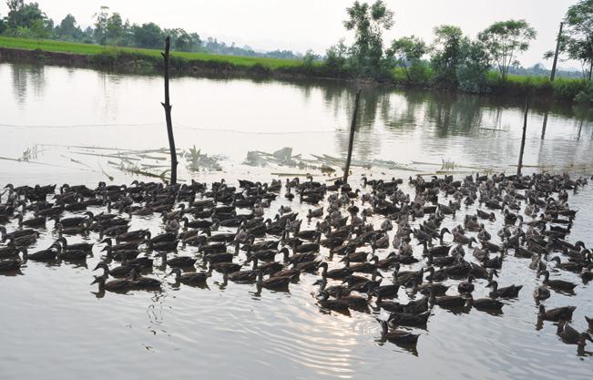 Việc chăn nuôi cá tại 5 ao cũng mang lại nguồn thu lớn cho gia đình ông Miền.