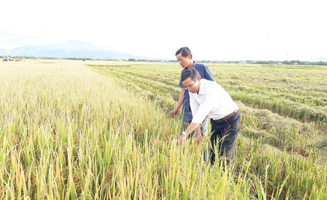 Ông Lê Tranh – Giám đốc HTX Phù Bài (bên phải) cùng xã viên kiểm tra chất lượng lúa vụ hè thu.