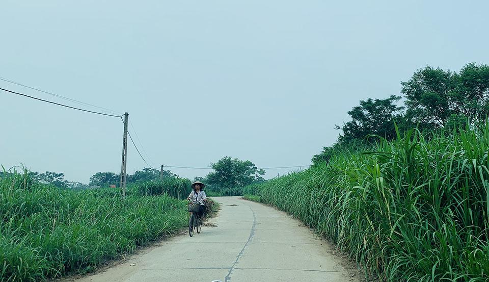Những con đường bê tông chạy quanh co giữa cánh đồng cỏ voi xanh mướt tại xã Vĩnh Thịnh.