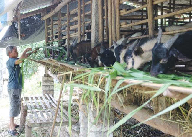 Anh Nông Văn Chiền chăm sóc đàn dê của gia đình. Hương Giang