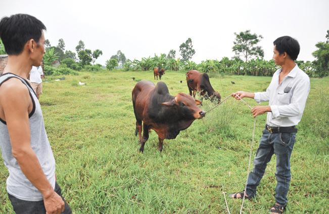 Lão nông Phan Văn Miền kiểm tra sức khỏe đàn bò tại trang trại của gia đình.