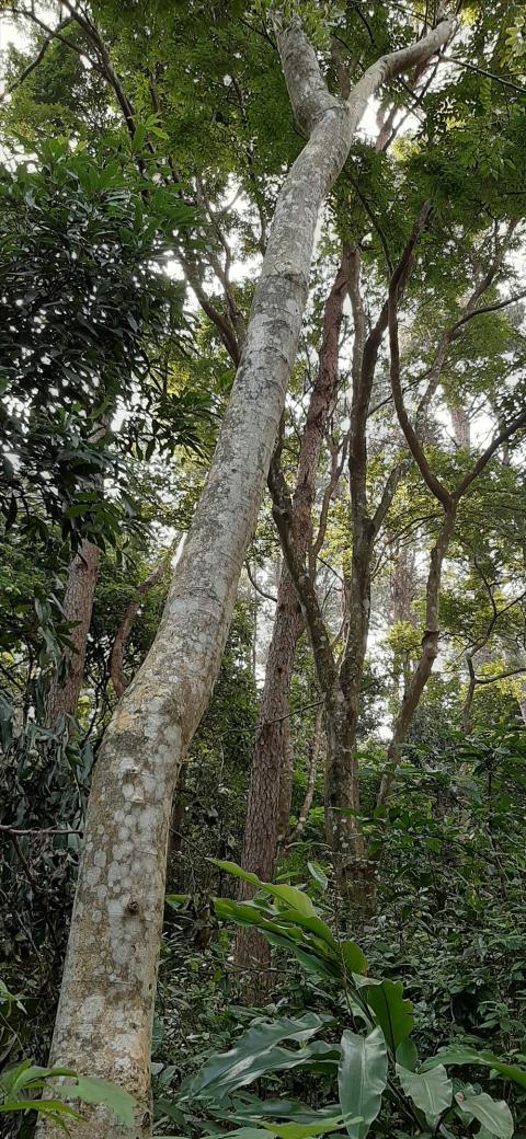Theo biên bản, cây gỗ sưa đứng cận kề ngay Hội trường của Vườn, nhiều camera an ninh cách đó không xa, mà vẫn bị chặt. (Ảnh: Lao động)