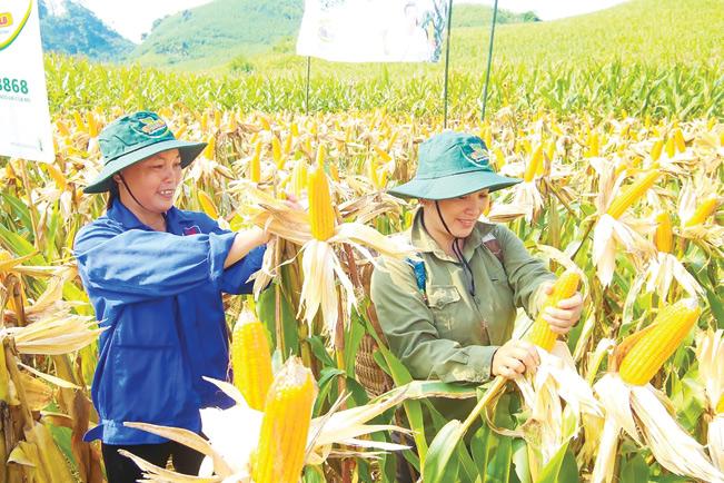 Nông dân Lào Cai liên kết với doanh nghiệp trồng ngô.