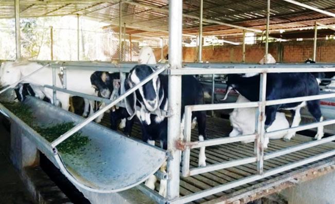 Mô hình nuôi dê vỗ béo của gia đình chị Nguyễn Thị Nga. Nguyễn Thanh