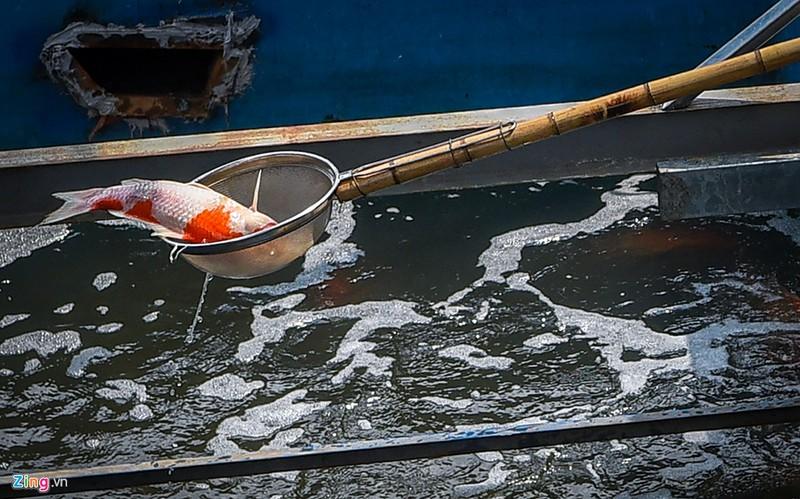 Một con cá Koi chết vào trưa 18/9. Ảnh Việt Linh/Zing.