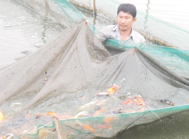 Nuôi cá kiểng xuất khẩu tại huyện Bình Chánh.