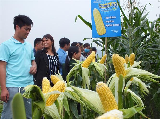 Bắp ngô ngọt sang Hàn Quốc giá 180 nghìn đồng - Ảnh 5.