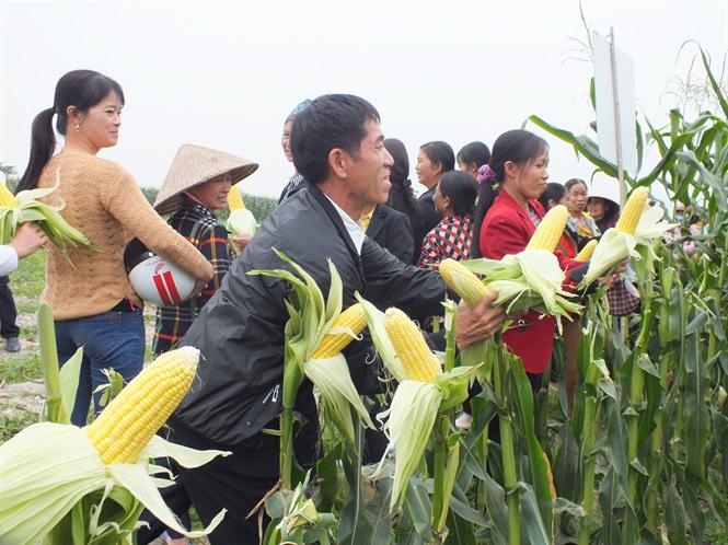 Bắp ngô ngọt sang Hàn Quốc giá 180 nghìn đồng - Ảnh 3.