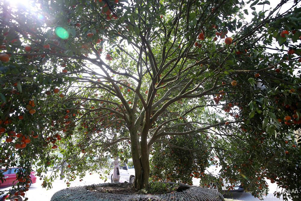 """Cây quýt rừng """"khổng lồ"""", khách mua chưng tết trả 100 triệu đồng chưa bán - Ảnh 4."""