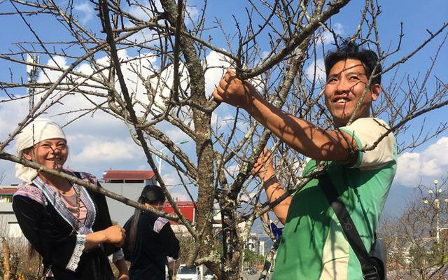 Bán đào rừng Lai Châu, thu lãi cả trăm triệu