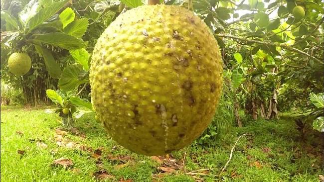Thứ quả có mùi lạ nhưng vỏ na ná mít, giá lên tới hơn 200.000 đồng/kg - Ảnh 7.