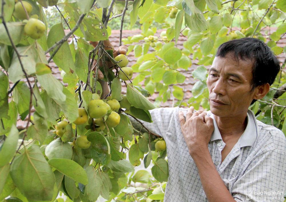 Thủ phủ trồng hồng xứ Nghệ giảm 70% sản lượng, nông dân buồn thỉu buồn thiu - Ảnh 2.