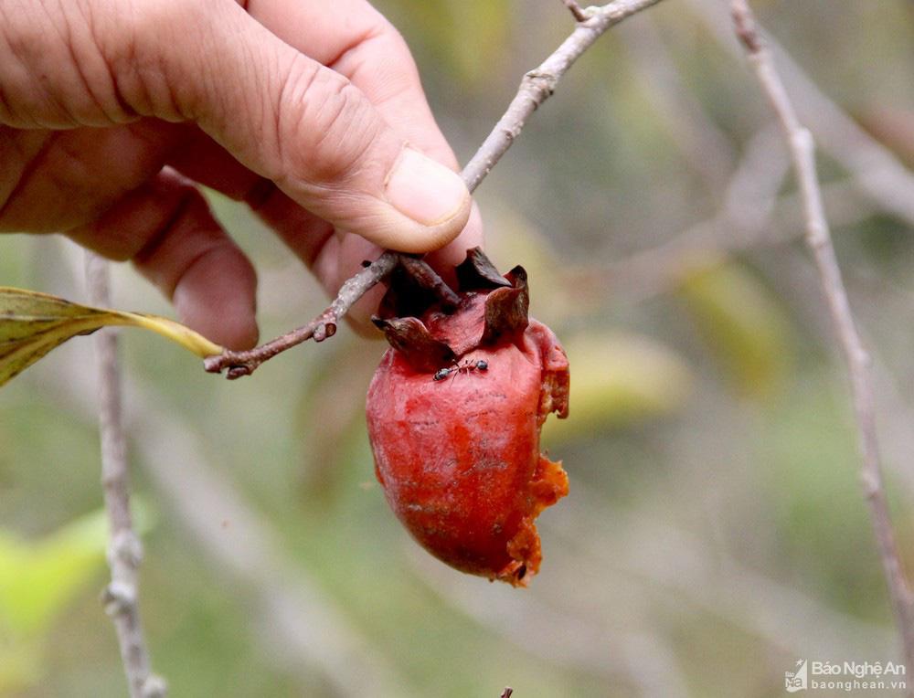 Thủ phủ trồng hồng xứ Nghệ giảm 70% sản lượng, nông dân buồn thỉu buồn thiu - Ảnh 4.