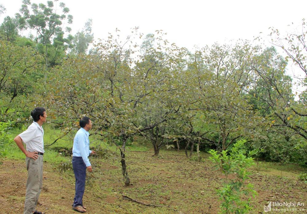 Thủ phủ trồng hồng xứ Nghệ giảm 70% sản lượng, nông dân buồn thỉu buồn thiu - Ảnh 1.