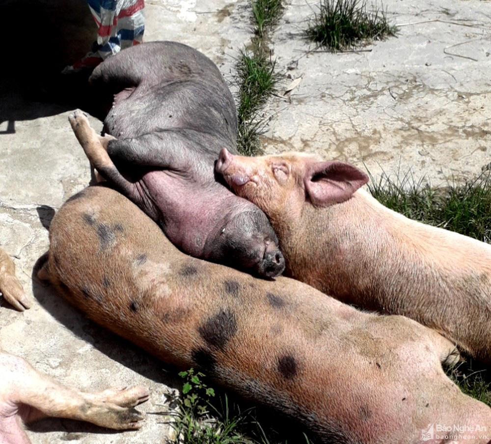 Vì sao dịch tả lợn châu Phi tái bùng phát ở Nghệ An, ngày nào cũng có lợn phải tiêu huỷ? - Ảnh 2.