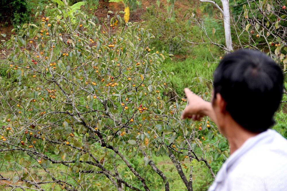 Thủ phủ trồng hồng xứ Nghệ giảm 70% sản lượng, nông dân buồn thỉu buồn thiu - Ảnh 3.