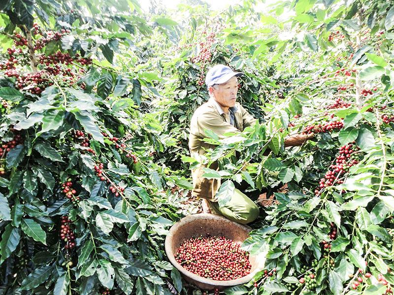 Quảng Trị: Nông dân Hướng Hóa trồng giống cà phê mới lạ, trái chi chít, chín đỏ cả cây - Ảnh 1.