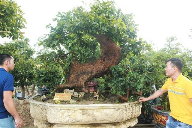 Cụ mai vàng Yên Tử 700 tuổi giá triệu USD của đại gia Quảng Ninh - Ảnh 1.