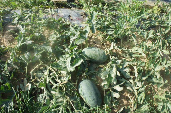 Vì sao chất lượng dưa hấu ở miền Trung-Tây Nguyên kém hơn những vùng khác? - Ảnh 2.