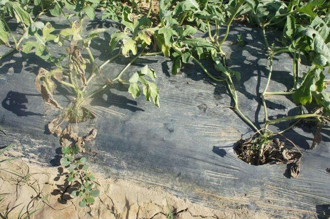 Vì sao chất lượng dưa hấu ở miền Trung-Tây Nguyên kém hơn những vùng khác? - Ảnh 3.