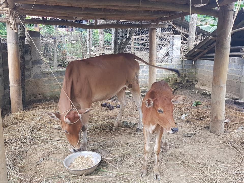 Điện Biên: Thông tin hỗ trợ bò gầy yếu là không chính xác - Ảnh 4.