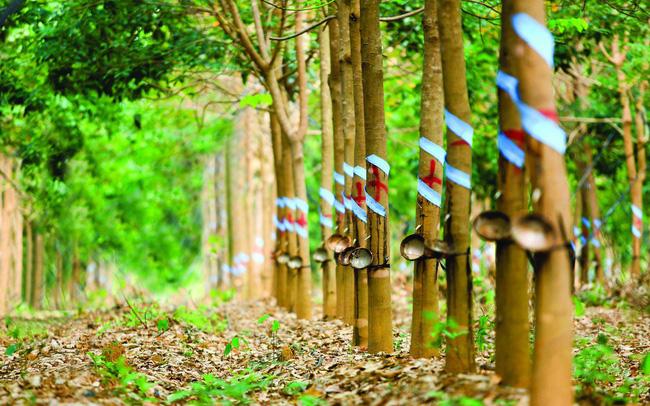 Cao su Tây Ninh (TRC) báo lãi ròng tăng 13% trong quý III/2020 - Ảnh 1.