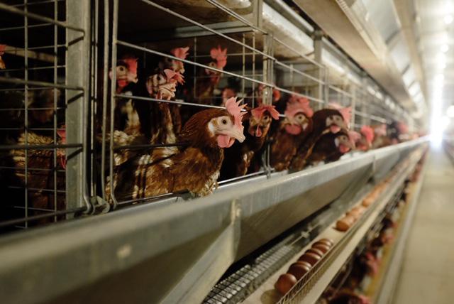 ' Đại gia Hòa Phát bán gần nửa triệu quả trứng gà sạch mỗi ngày, đứng số 1 miền Bắc - Ảnh 2.'