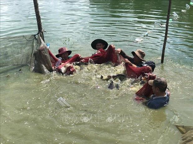 Cá rô phi Philipines khác rô phi thường điểm gì mà ông nông dân tỉnh Bà Rịa-Vũng Tàu bắt 300 tấn, thu 9 tỷ? - Ảnh 3.