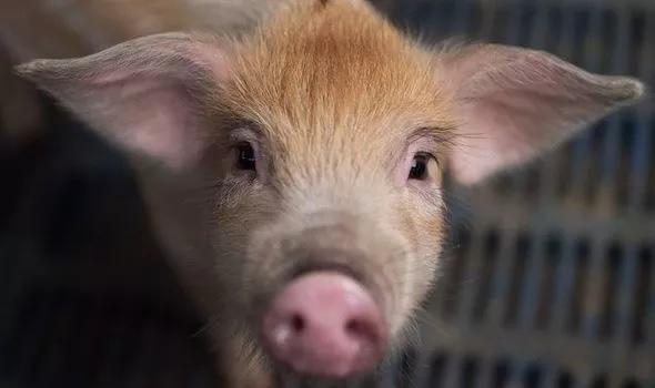 """Chủng virus Corona từ lợn ở Trung Quốc có thể """"nhảy"""" sang người - Ảnh 1."""