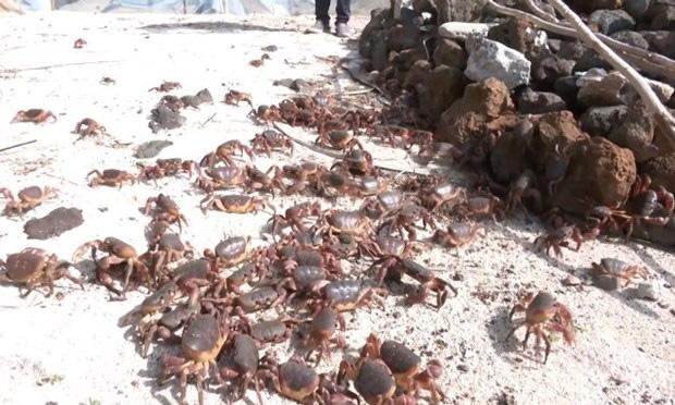 Quảng Ngãi: Khoanh vùng, bảo vệ nghiêm ngặt việc nuôi loài cua đỏ này để làm gì? - Ảnh 1.