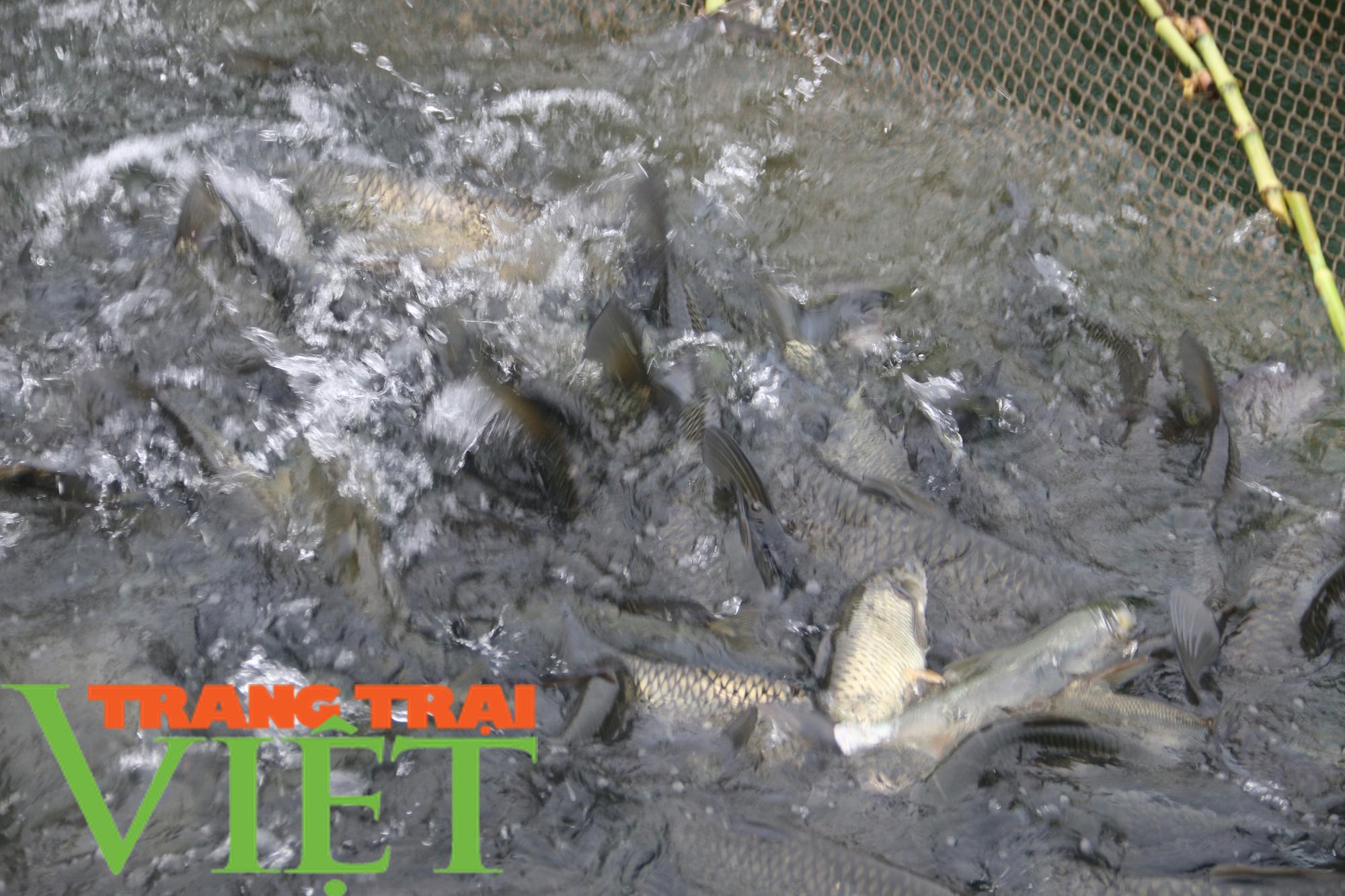 Hòa Bình: Phát huy tiềm năng thế mạnh nuôi cá lồng trên vùng lòng hồ - Ảnh 4.