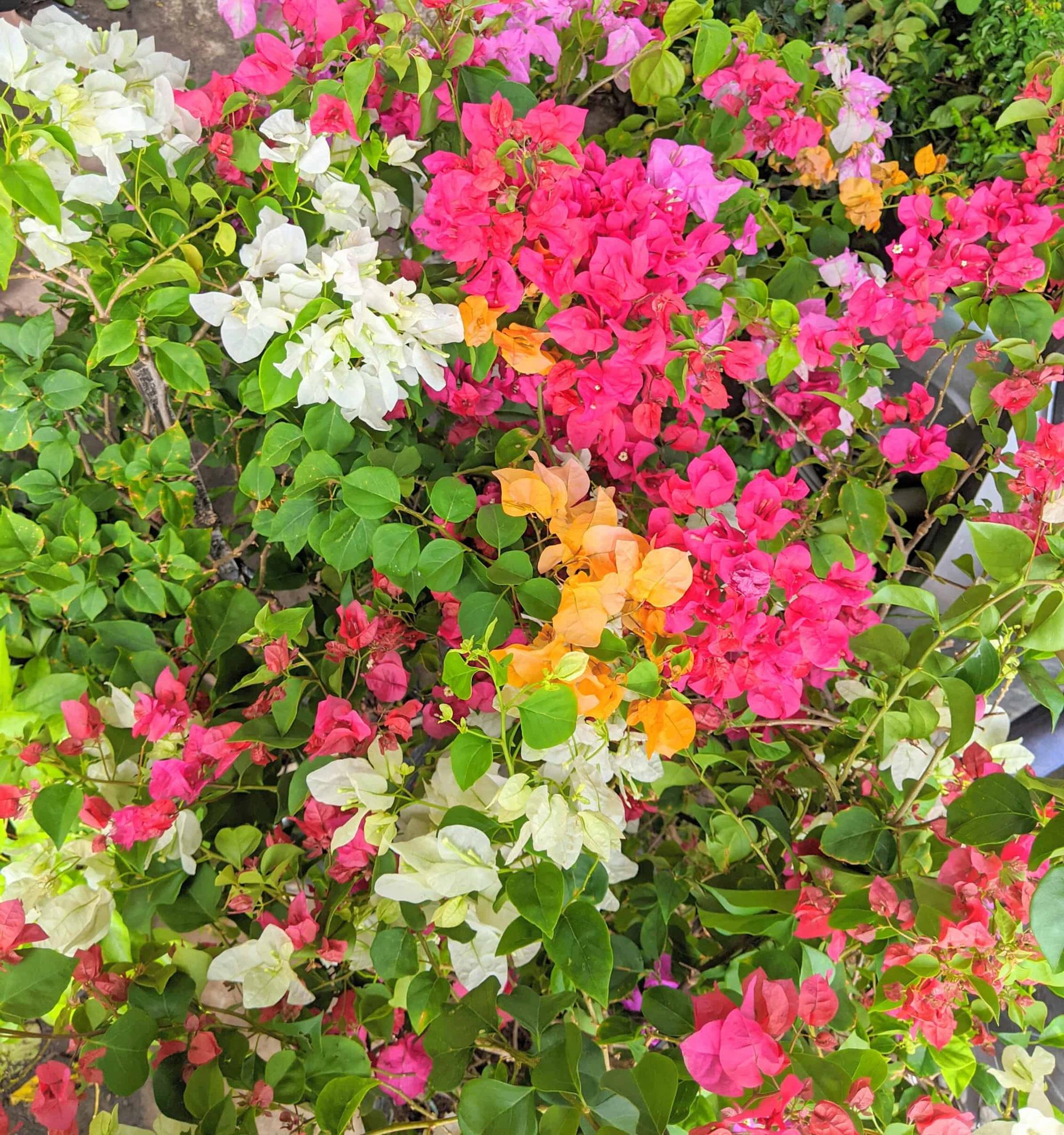 """Những cây hoa """"hữu sắc vô hương"""" ra nhiều màu, dân chơi kiểng trả giá hơn nửa tỷ đồng - Ảnh 1."""