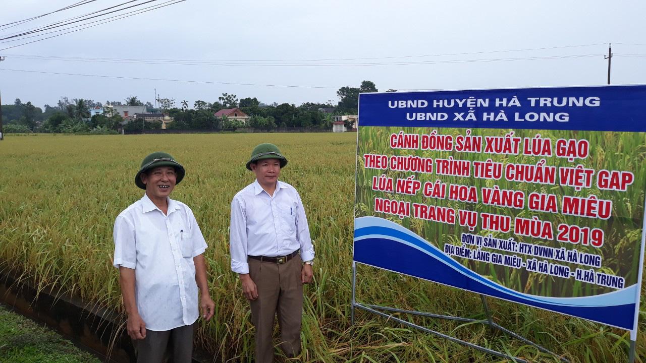 """Gạo nếp cái hoa vàng """"Gia Miêu Ngoại Trang"""" 1 trong 10 sản phẩm gạo nếp ngon nhất trong nước - Ảnh 3."""