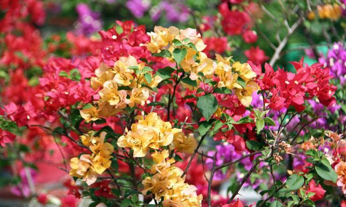 """Những cây hoa """"hữu sắc vô hương"""" ra nhiều màu, dân chơi kiểng trả giá hơn nửa tỷ đồng - Ảnh 4."""