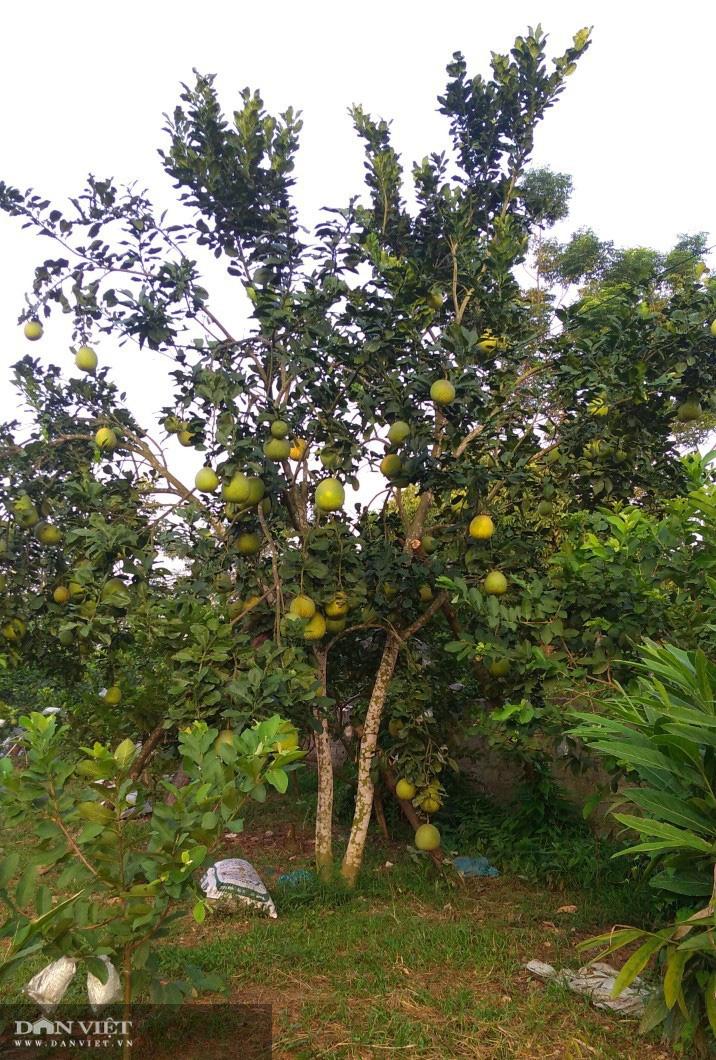 Thái Nguyên nông dân rủ nhau trồng giống bưởi quý có cây cho cả nghìn quả  - Ảnh 4.