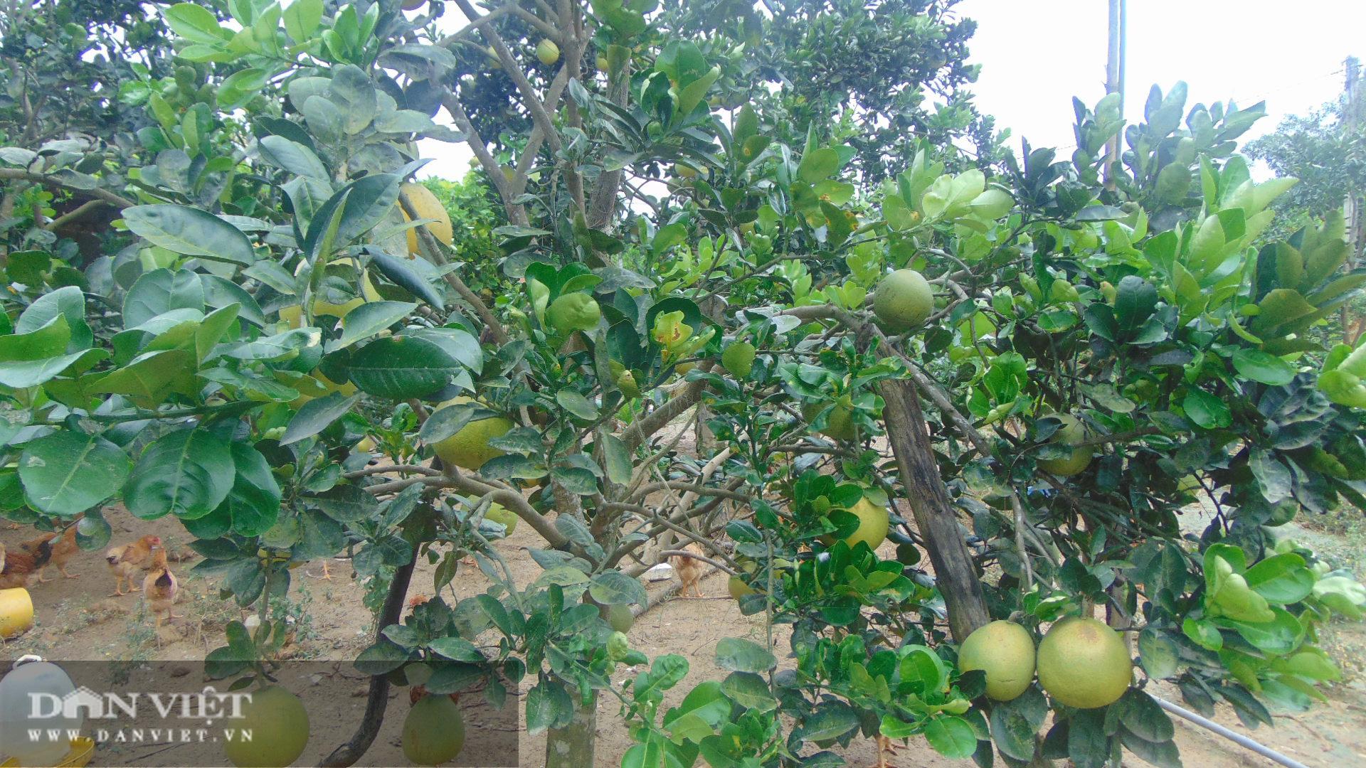 Thái Nguyên nông dân rủ nhau trồng giống bưởi quý có cây cho cả nghìn quả  - Ảnh 2.