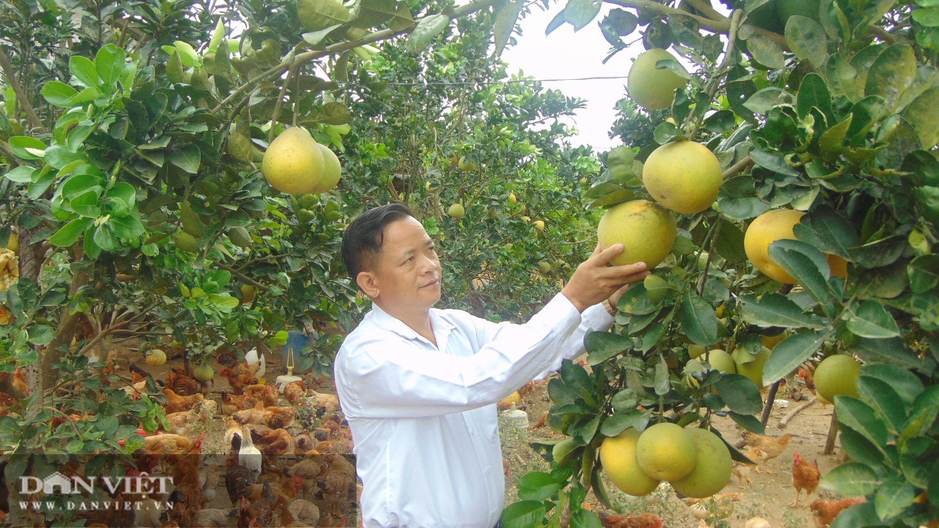 Thái Nguyên nông dân rủ nhau trồng giống bưởi quý có cây cho cả nghìn quả  - Ảnh 3.