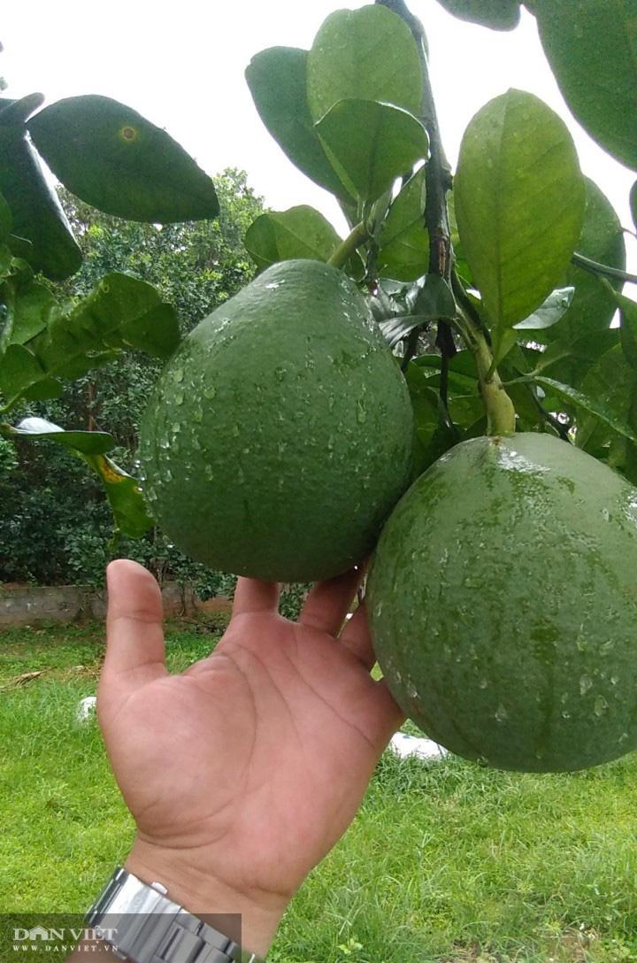 Thái Nguyên nông dân rủ nhau trồng giống bưởi quý có cây cho cả nghìn quả  - Ảnh 5.