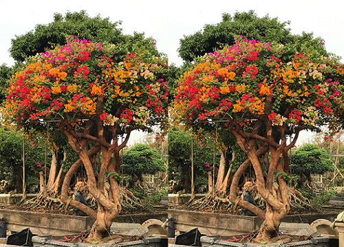 """Những cây hoa """"hữu sắc vô hương"""" ra nhiều màu, dân chơi kiểng trả giá hơn nửa tỷ đồng - Ảnh 2."""