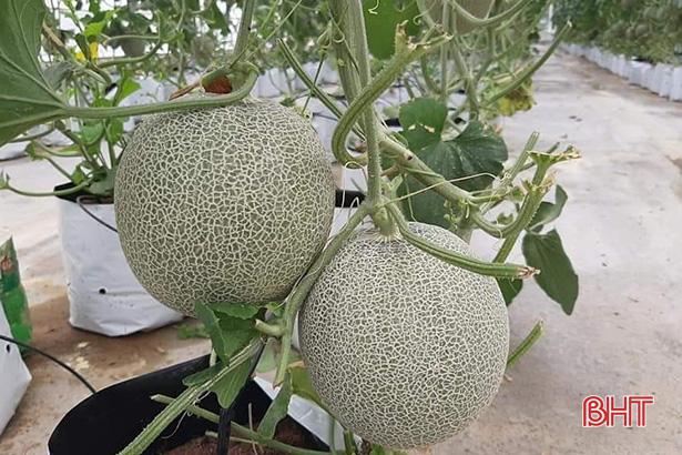 Hợp tác xã ở Hà Tĩnh thuê chuyên gia Israel dạy cách trồng dưa lưới - Ảnh 3.