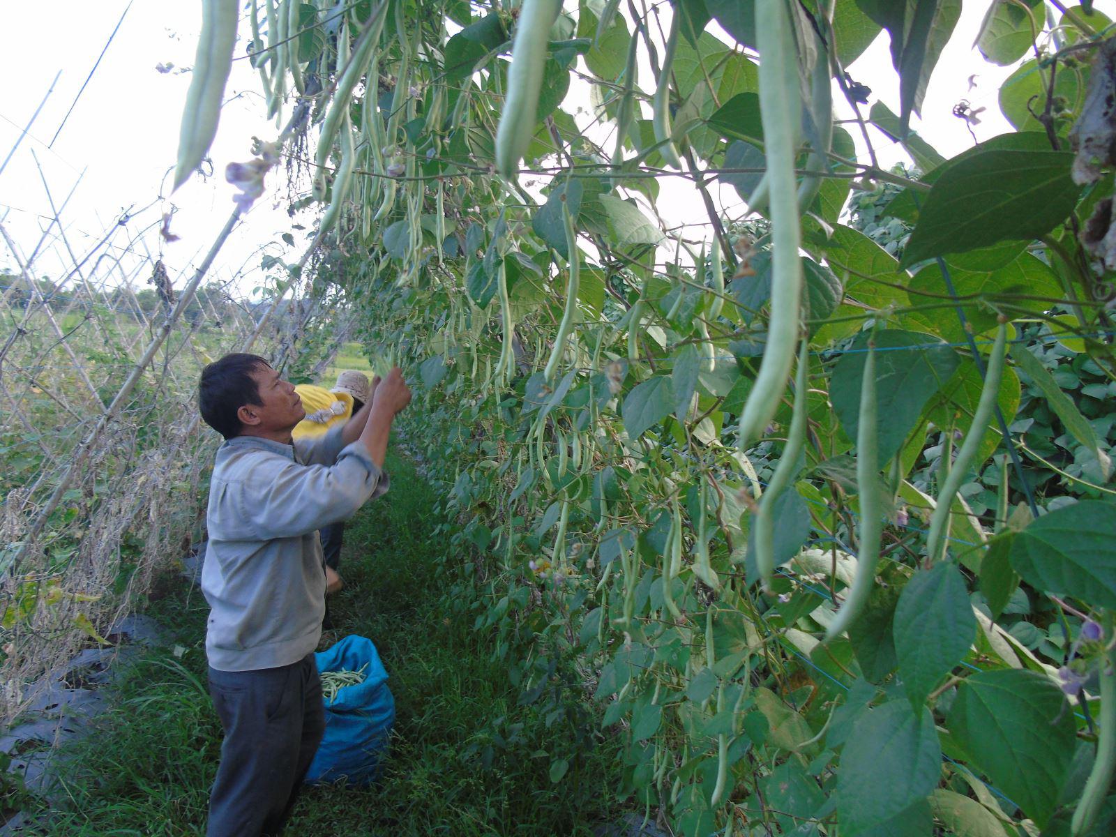 Phú Yên: Trồng đậu co ve trên đất lúa, trái ra quá trời, hái mỏi cả tay, nhưng thu nhập cao - Ảnh 1.