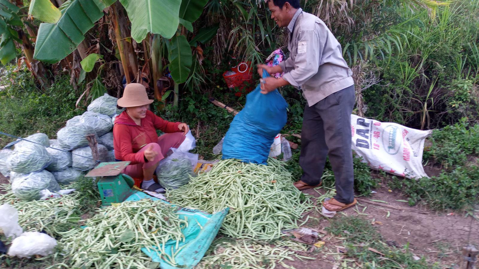 Phú Yên: Trồng đậu co ve trên đất lúa, trái ra quá trời, hái mỏi cả tay, nhưng thu nhập cao - Ảnh 2.