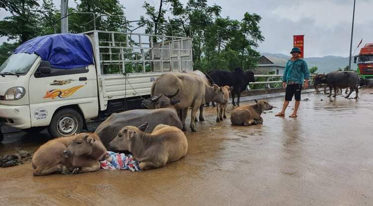 """Người dân Quảng Bình đưa trâu bò lên cầu bắc qua sông Gianh """"chạy"""" lũ lịch sử - Ảnh 7."""