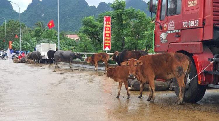 """Người dân Quảng Bình đưa trâu bò lên cầu bắc qua sông Gianh """"chạy"""" lũ lịch sử - Ảnh 6."""