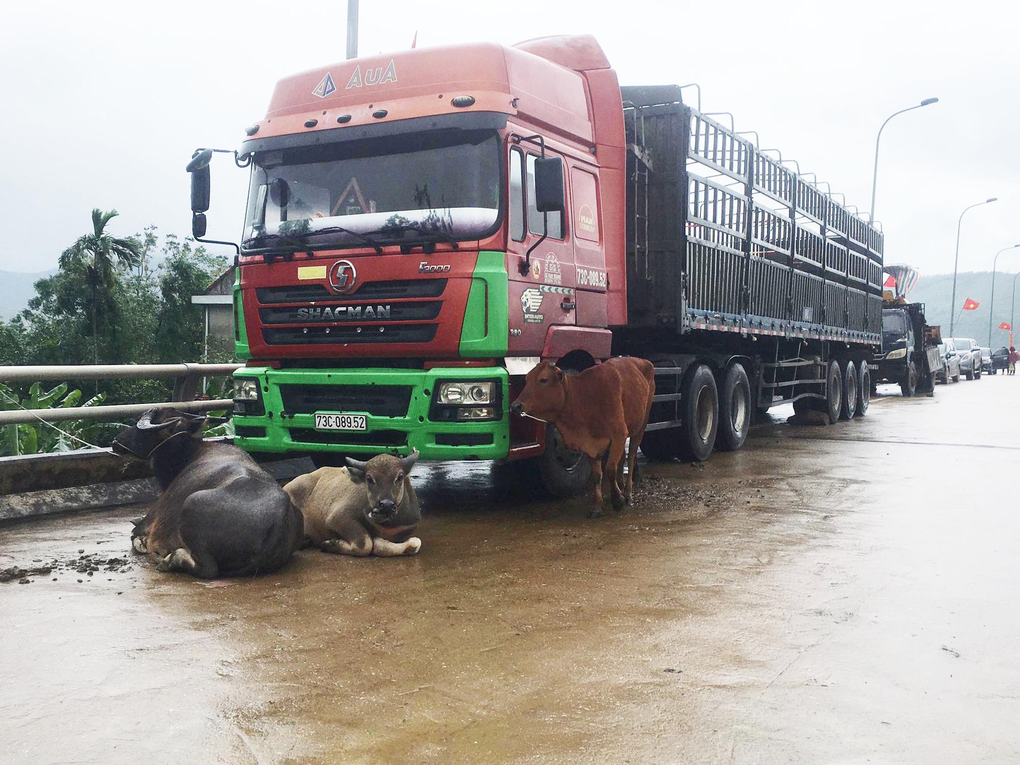 """Người dân Quảng Bình đưa trâu bò lên cầu bắc qua sông Gianh """"chạy"""" lũ lịch sử - Ảnh 5."""