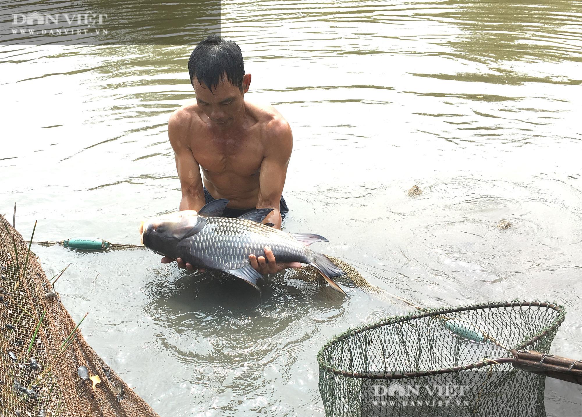 """Lão nông vùng lũ chăm cá """"khủng"""" bán mỗi con tiền triệu - Ảnh 3."""